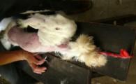 È stata laPeta(People for the Ethical Treatment of Animals)ha far luce sulla scandalosa pratica adottataper ricavare la pregiata lana d'angora, utilizzata per confezionare le maglie ed i maglioncini belli sofficidi […]
