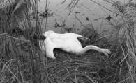 Volevo segnalare due siti dove è possibile esprimere la propria contrarietà al piano per uccidere i cigni reali presenti in nord America. Il Cigno Reale (Cygnus Olor) è una specie […]